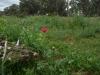 poppys-almerta