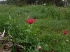 poppys-almerta2